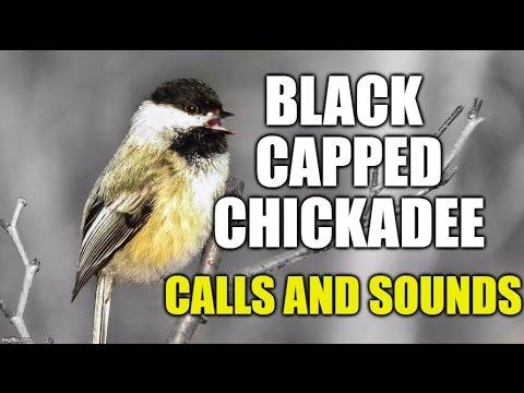 Black-capped Chickadee Calls