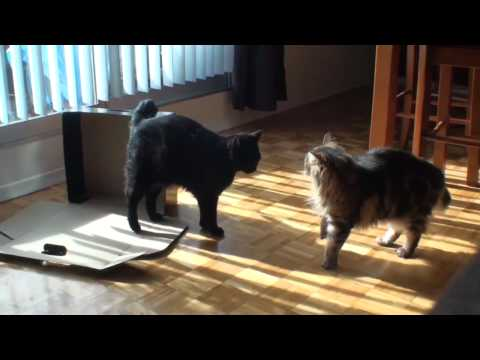 My cats play fighting