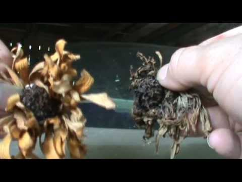 How To Collect Zinnia Seeds The Simple Way Youtube