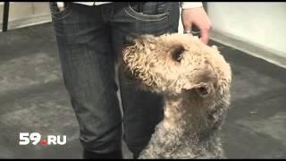 Новости Перми: обрекли собаку на смерть(http://59.ru/text/events/627754.html Порой, желая избавиться от питомца, бывшие хозяева буквально обрекают его на мучите..., 2013-03-04T16:42:39.000Z)
