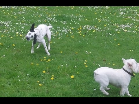 Dalmation X Pheobe, Retriever  Albert and Westie Pads at A & B Dogs Boarding & Training Kennels.