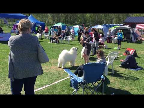 Royal Canin Dog Show | 20-21.05.2017 | Helsinki | Samoyed BOB