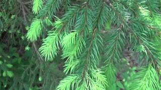 Eat Evergreen Tree Tips Packs More Vitamin C Than Oranges
