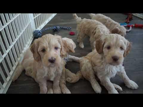 Sasha & Finn's Australian Labradoodle PLaytime - 6 Weeks Old