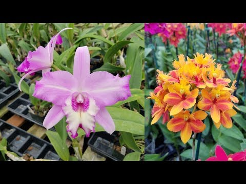 Orchid Rewind: Cal-Orchid Summer Hummer Open House!