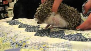 How to trim an aggressive hedgehog's nails