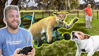 Remote Control Cat at Dog Park!