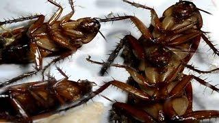 Get rid of Cockroaches from your homes forever - अपने घरों से काकरोचों से छुटकारा पाएं