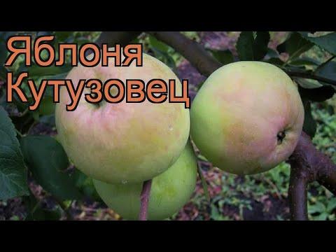 Яблоня обыкновенная Кутузовец (malus kutuzovets) 🌿 обзор: как сажать, саженцы яблони Кутузовец