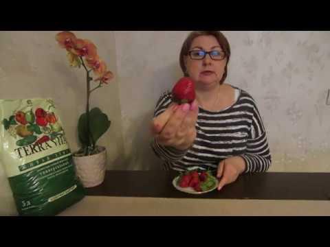 Посев семян земляники (клубники) из свежих магазинных ягод.