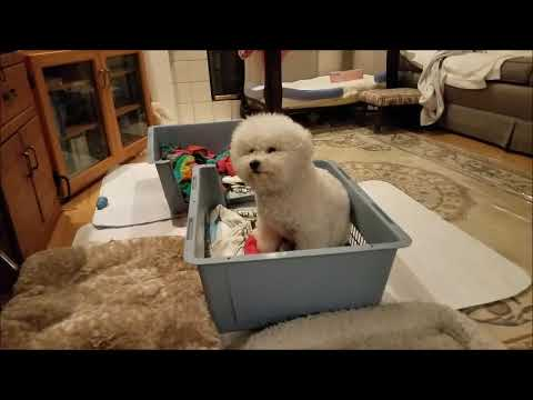 Hollyhock Bichons, 2018 Lucie's litter, The Birth Day