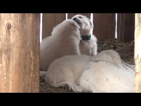 Maremma/Akbash LGD pups 5 wks first snow