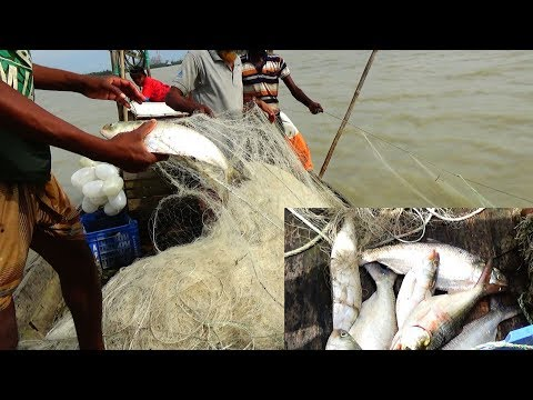 Live Ilish (ইলিশ) Fish Catching In River | River Fishing By Daily Village Life (Part-135)