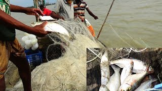 Live Ilish (ইলিশ) Fish catching in River | River fishing by Daily Village Life
