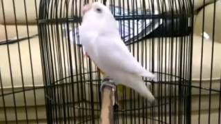 Love Bird Pasput [PASTEL PUTIH] Ngekek Panjang