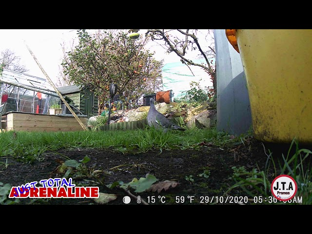 Pigeon in Hawick -  HD Wildlife Camera clip - by JTAPromos www.JTAPromos.net