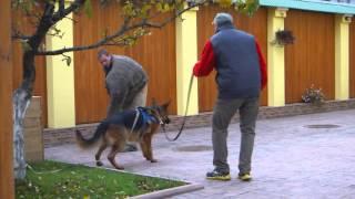 Дрессировка на защиту (ЗКС) немецкой овчарки. Работа с фигурантом