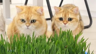 Cute cats like to eat green grass
