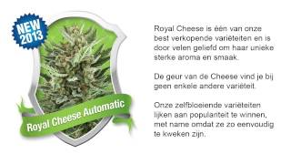 Royal Cheese Automatic *Royal Queen Seeds*