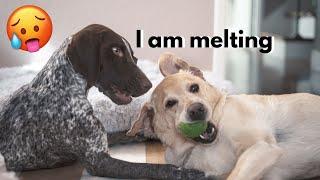 HEAT ALERT!   German Shorthaired Pointer & Labrador Retriever