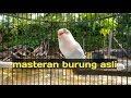 Lovebird Ngekek Panjang Trek Dengan Ini Burung Lovebird Anda Nyaut  Mp3 - Mp4 Download