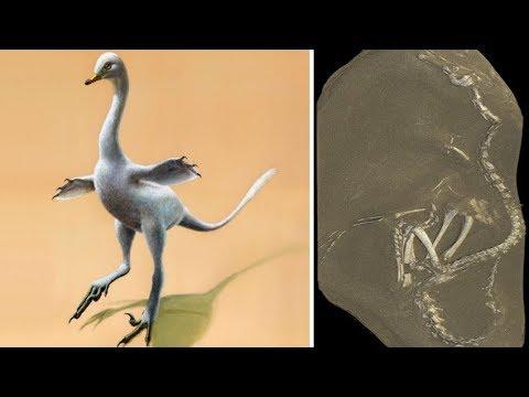 Halszkaraptor Escuilliei: 75 million year old Amphibious Dinosaur that looked like Mutant Swan found