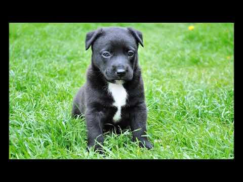 black pitbull puppies
