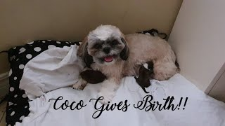 How I helped my  Dog give birth for the first time! (Shihtzu and Lhasa Apso mix)
