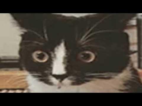 ragdoll cats rescue