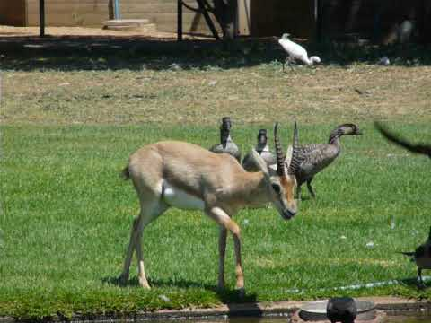 Palestine gazelle vs crows