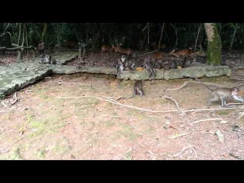 Khỉ hoang dã khu du lịch đầm long - cẩn thận bị cướp điện thoại