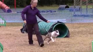 Magnus and Beattie bull terriers competing Beachside agility Sept 2016
