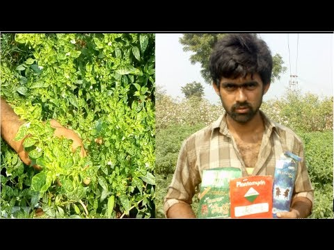 Gemini Virus on chilli Best Remedy||Merapalo Gubba/Bobba Rogam Nevarana