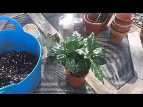 Coffea Arabica - Growing and planting seedlings