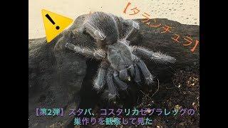【第2弾】スタバ、コスタリカゼブラレッグの巣作りを観察してみた!【タランチュラ】