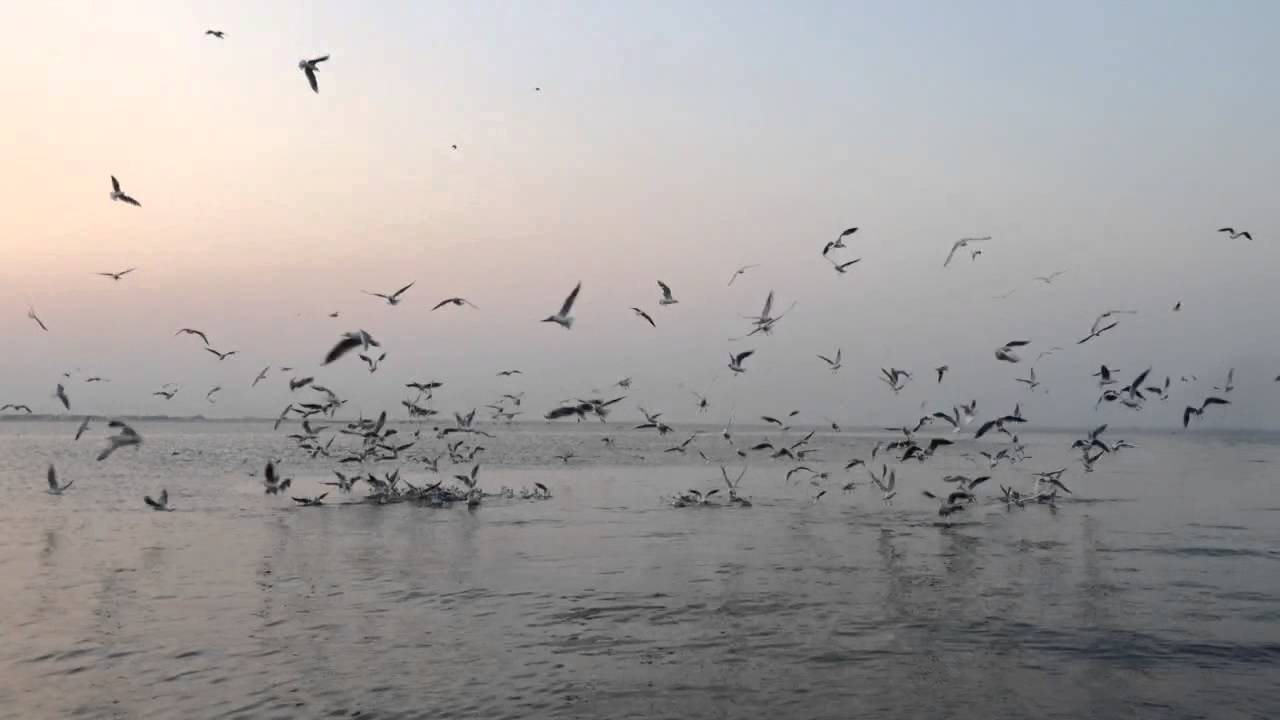 طيور النورس على شواطئ الدمام Youtube
