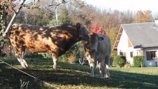 Un taureau câline son jeune