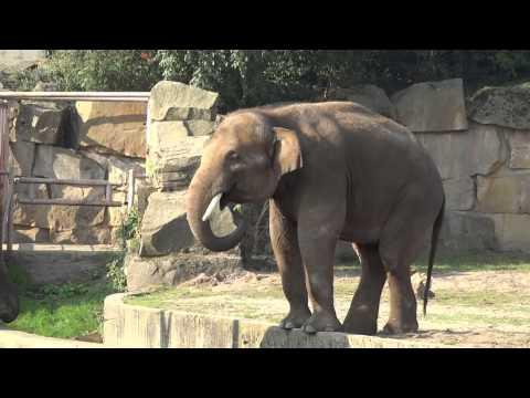 Der neue Elefantenbulle Valentino nimmt Kontakt zu seinen Berliner Mädels auf, am 05 10