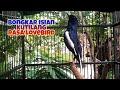 Kacer Bongkar Isian Kutilang Rasa Lovebird Besetan Cucak Jenggot Dijamin Kacer Anda Cepat Respon  Mp3 - Mp4 Download