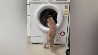 세탁기가 우리 후추 놀아줌