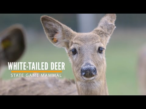 White-tailed Deer is Michigan