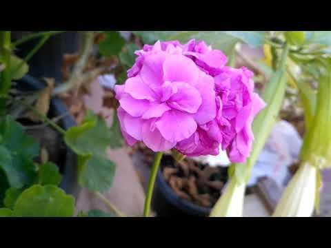Пеларгония Blue spring иви-гибрид