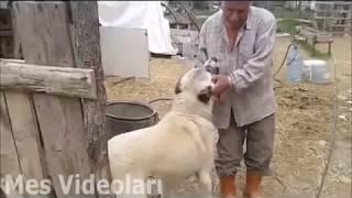 Kangalın sahibine Olan inanılmaz sadakati