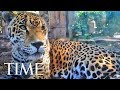 Jaguar Escapes From Zoo Habitat, Kills 8 Animals | TIME