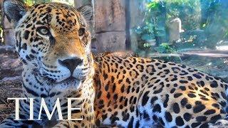 Jaguar Escapes From Zoo Habitat, Kills 8 Animals | TIME