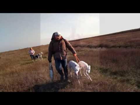 Охота на зайца с борзыми.Грейхаунды первопольные.Greyhound hunting.