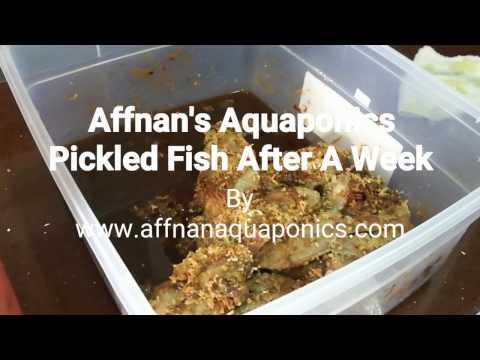 Affnan's Aquaponics - Pickle Fish After A Week