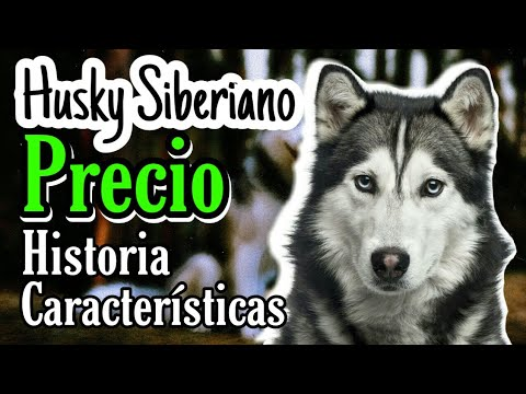 comprar Husky Siberiano video watch HD videos online without