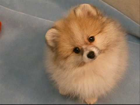 Can I Be Your Teddy Bear Pom Puppies Mandy Jos Poms Youtube