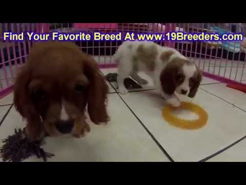 Cavalier King Charles Spaniel, Puppies, Dogs, For Sale, In Tampa, Florida, FL, 19Breeders, Hollywood